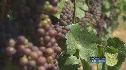 Earliest-ever grape harvest underway in Oregon