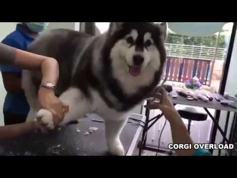 CORGI + ALASKA = CORGLASKA