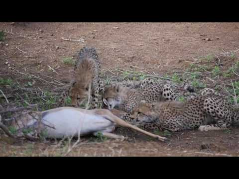 Cheetah mom and kids find their breakfast  Part 1