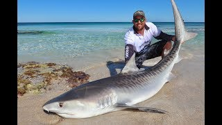 Perth Tiger Shark