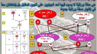 Download Video احياء الصف الاول الثانوي - تداخل فعل الجينات MP3 3GP MP4