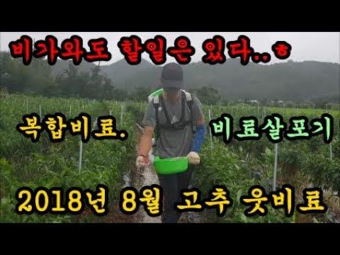 고추농사 고추8월달 3차 웃비료하는 방법 수�
