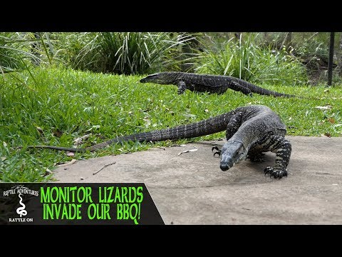 MONITOR LIZARDS INVADE OUR AUSTRALIAN BBQ!