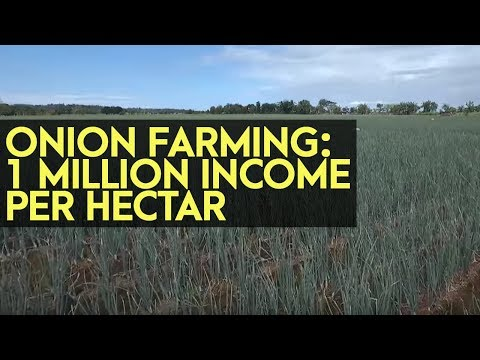 Onion Farming: 1 Million Income per Hectare