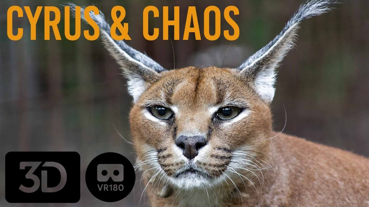 Caracals Of Big Cat Rescue Youtube