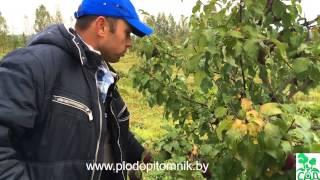 видео Сорт яблони Болотовское