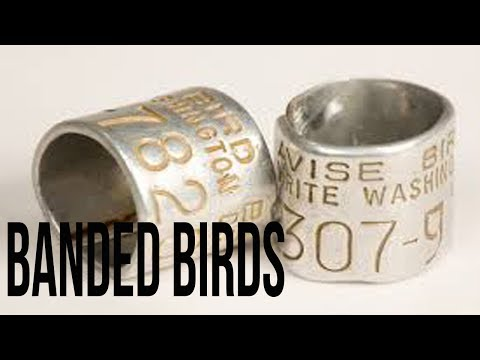 Banded Birds | Waterfowl Wednesday