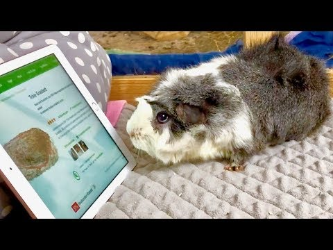 Buying My Guinea Pigs Everything They Pick