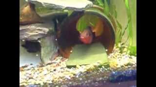 Jewel Cichlid fish and fry