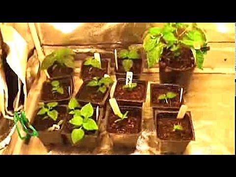 & Update on the indoor gardening grow tent - Pepper plants - YouTube