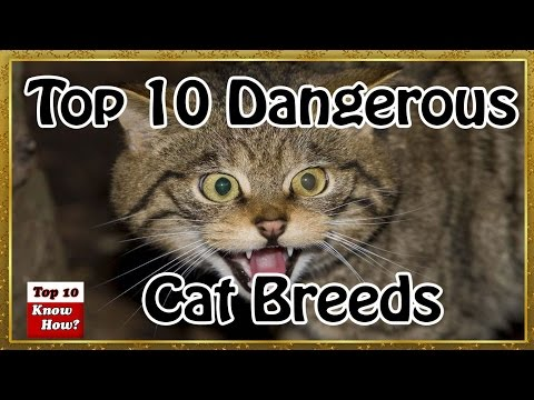 World Top 10 Most Dangerous Cat Breeds (Top 10 Know How )