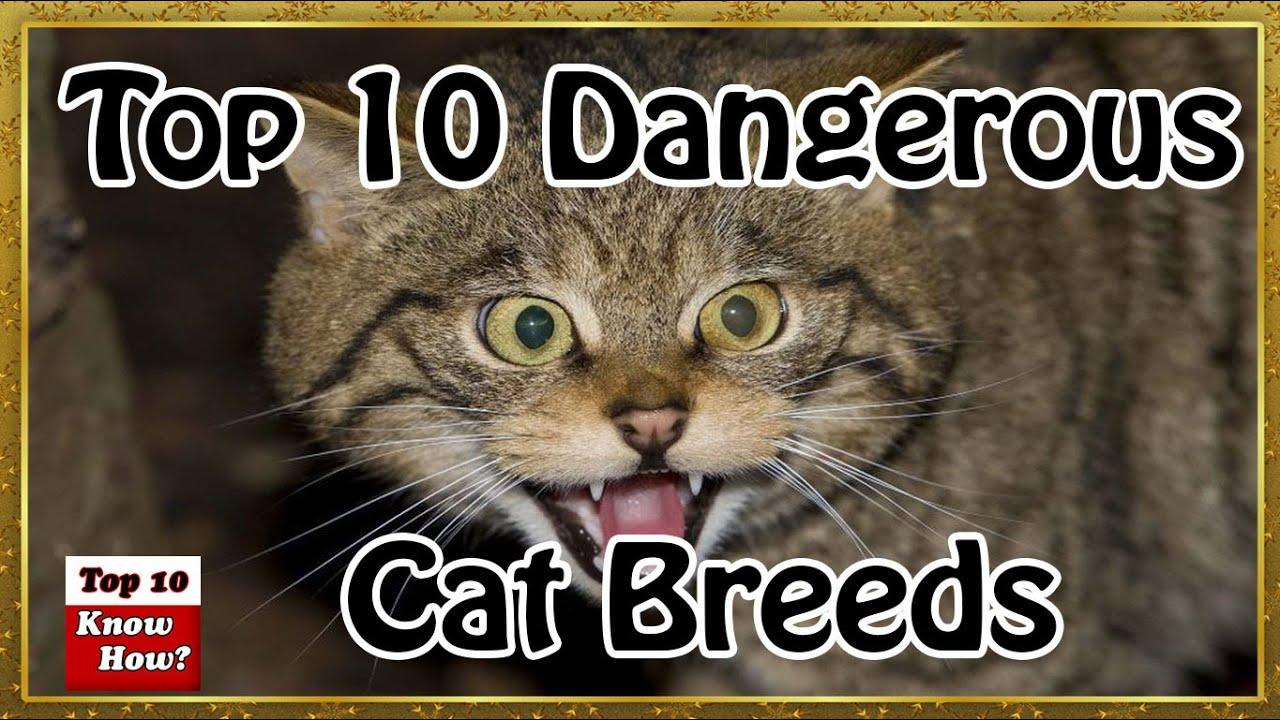 Top  Aggressive Cat Breeds