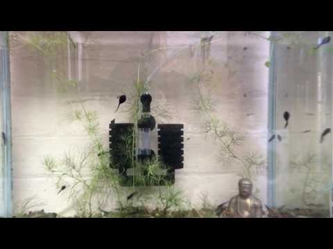 Wild Caught Stickleback Fry & Tadpoles In An Aquarium, UK