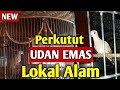 Perkutut Udan Emas Lokal Alam  Mp3 - Mp4 Download