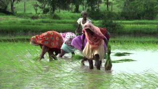 Paddy field in Gujarat (India)