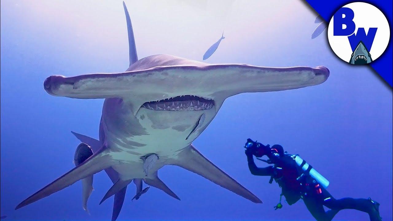 MASSIVE Hammerhead Shark Filmed in Bahamas! - YouTube