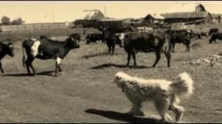 ПСЫ СТЕПНЫХ ВЕТРОВ  -  красивый фильм  -Южнорусская овчарка…, там, где слова не нужны…