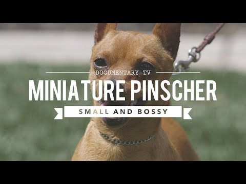 ALL ABOUT MINIATURE PINSCHER - SMALL AND BOSSY