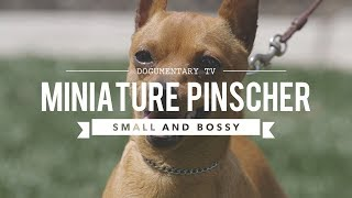 ALL ABOUT MINIATURE PINSCHER  SMALL AND BOSSY