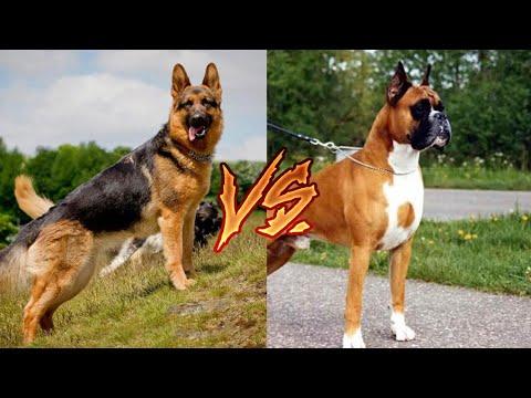 Вопрос: Как дрессировать щенка боксера?