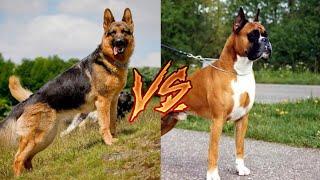 Немецкий боксер против Немецкая овчарка
