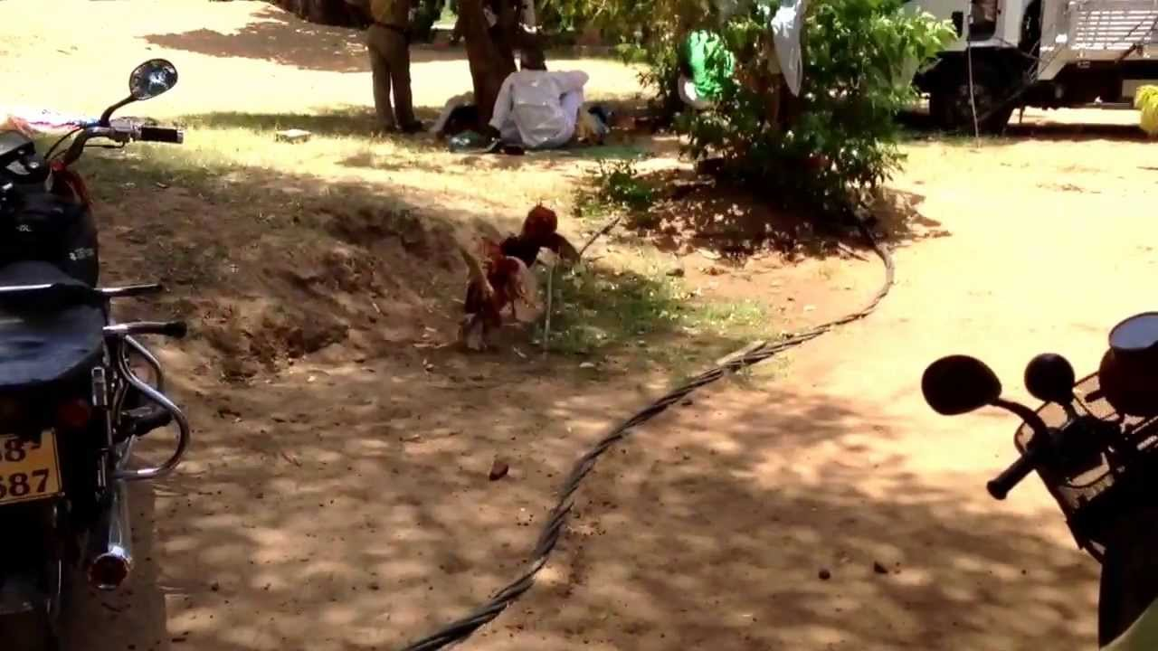 jungle fowl fight in srilanka YouTube