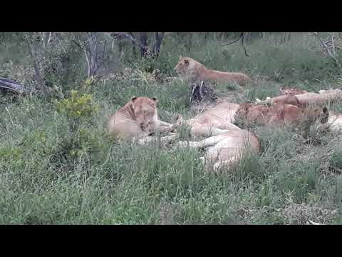 #DeepWildLife New Born Cubs From The Nkuhuma Pride