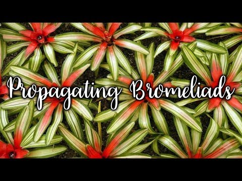 Repotting A Bromeliad Pup Doovi