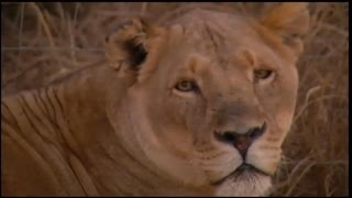 Lion Kills American on Safari in South Africa