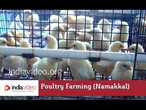 A chicken and egg situation in Namakkal