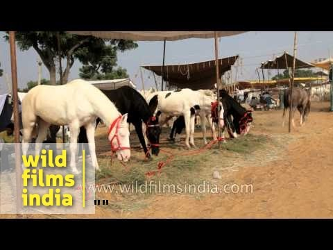 Trader feeding horse