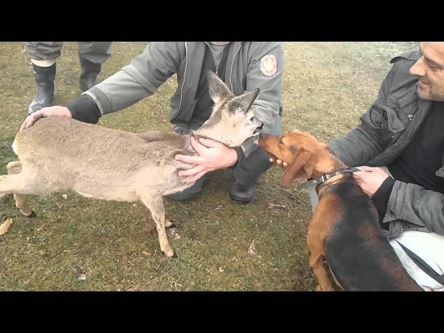 Vracanje srne u divljinu Pljevlja dec 2015