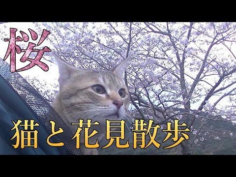 桜が咲いたので猫とお花見散歩に行って来ました。