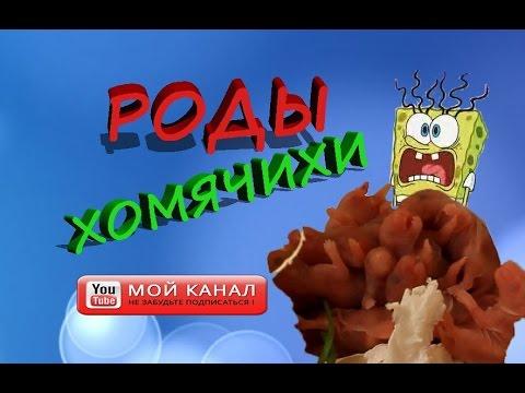 видео: ОБЗОР! РОДЫ ХОМЯКА! ХОМЯЧИХА РОДИЛА! Как проходят роды у хомяков!