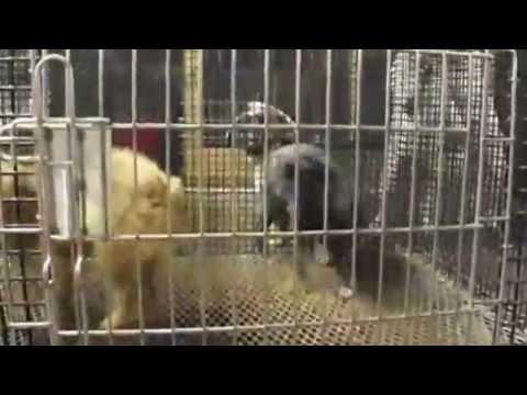 Unlicensed USDA Ohio 'Puppy Mill'