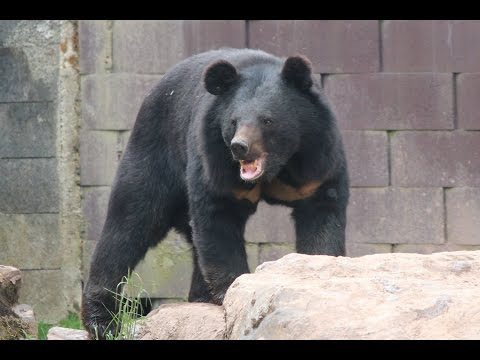 Aziatische zwarte beer / Ours noir d'Asie / Asiatic black bear : Monde Sauvage Aywaille