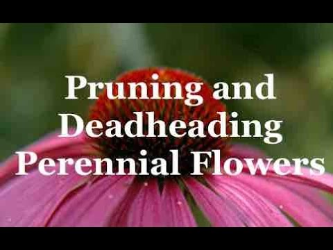 Pruning Perennials And Deadheading