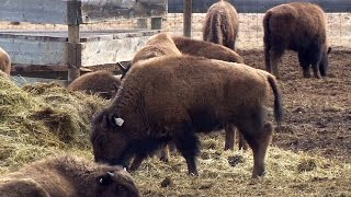 Home on the range: Captured bison to return to Montana