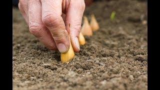 Как вырастить крупный лук и сохранить его до следующего лета
