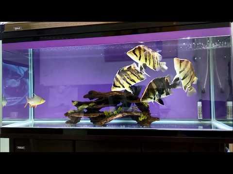 Tips 5 Cara Mudah Memelihara Indo Tiger Fish (Datnoids)