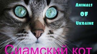 Сиамский кот.Siamese cat.
