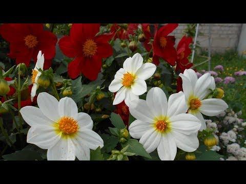 Однолетние георгины – выращивание из семян. Впечатляющий однолетник для клумбы