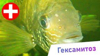 Гексамитоз - Симптомы и Лечение. Заболевания аквариумных рыб