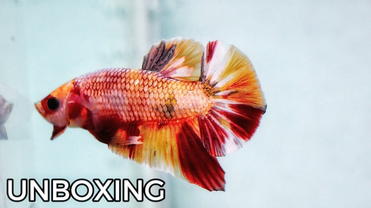 Unboxing Ikan Cupang Nemo Copper Youtube
