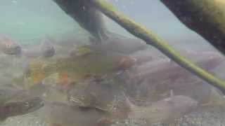 Spawning Cutthroat Trout at Henrys Lake