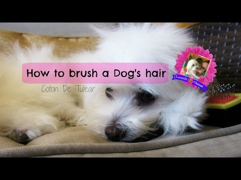 How to brush your dog's hair, coton de tulear, semi long coat I Lorentix