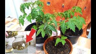 Вы не узнаете свою рассаду помидор после этой натуральной подкормки! Народные подкормки для рассады!