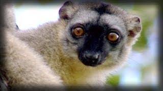 The energetic lemurs | Los energéticos lemures