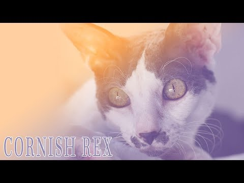 Ideal Companion: Cornish Rex | Cat Breeding Videos