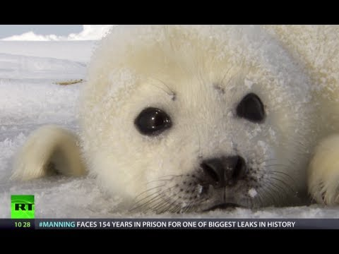 Saving Seals: Eco-tourists guard fluffy wonders (RT Documentary)